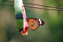 Butterfly. Beautiful Butterfly in time o eating Stock Photo