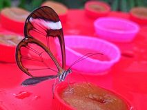 Butterfly. A beautiful butterfly with transparent wings Stock Images