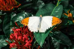 Butterfly. Beautiful tropical butterfly on blurred nature background. Colorful butterflies in Thailand garden. Tropical butterfly stock photography