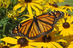 Butterfly Beauty. Beautiful monarch butterfly resting on a black-eyed susan royalty free stock photo