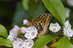 Butterfly Beauty. Great Spangled Fritillary Butterfly on Mountain Laurel Stock Photography