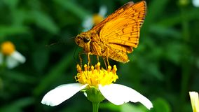 Butterfly beauty. Gold to Orange, animal , like Royalty Free Stock Photo