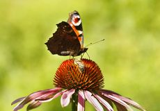 Butterfly and bee Royalty Free Stock Images