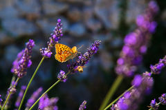Butterfly and bee on lavender flower. Lavender field. Royalty Free Stock Images