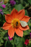 Butterfly and bee pollinate a flower. The butterfly the cabbage white butterfly and a bee pollinate an orange flower of a dahlia Royalty Free Stock Photos