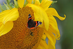 Butterfly and bee on a sunflower Stock Photography