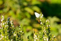 Butterfly and bee Royalty Free Stock Photos