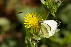 Butterfly, bee , yellow flower Royalty Free Stock Photography