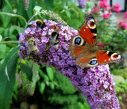 Nature Background Butterfly Royalty Free Stock Photography