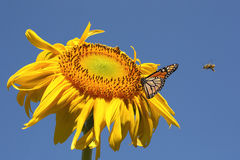 Butterfly and bees on a sunflower Stock Photos
