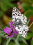 Butterfly and beetle on a flower Royalty Free Stock Photography