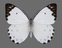 Butterfly Belenois calypso Calypso Caper White. On a gray background Royalty Free Stock Images