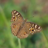 Butterfly on bent stalk Royalty Free Stock Images