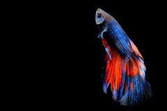 Butterfly Betta isolated on black. Beautiful color betta isolated on black Stock Images