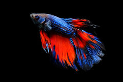 Butterfly Betta isolated on black. Beautiful color betta isolated on black Royalty Free Stock Image
