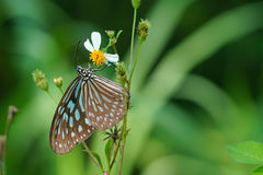 Butterfly and bidens pilosa flower Stock Photo