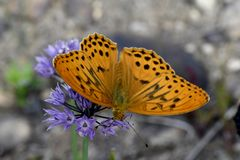 Butterfly big pearl gathers nectar. Close-up stock photos