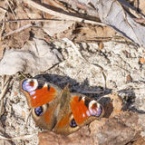 Butterfly with big red or orange wings Royalty Free Stock Photography