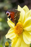 Butterfly on a big yellow flower Royalty Free Stock Photography