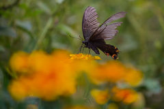Butterfly. A black butterfly with colored wings on flower stock photos