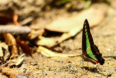 Butterfly. Black green butterfly in nature Stock Photos