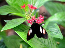 Butterfly. Black longwing butterfly with white a color patches Royalty Free Stock Image