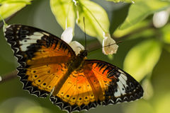 Butterfly with Black-Orange Wings Stock Images