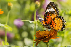 Butterfly with Black-Orange Wings on Orange Flower Royalty Free Stock Photos