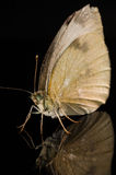 Butterfly  on black with reflection Royalty Free Stock Photos
