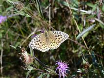 The butterfly with black spots on light wings is masked in the thickets of plants royalty free stock photo