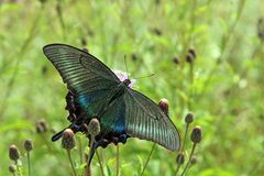 Butterfly, black swallowtail Royalty Free Stock Photos