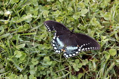 Butterfly. Black swallowtail butterfly with spread wings against green grass Stock Images