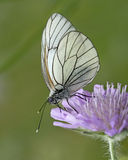 Butterfly - Black-Veined White, Aporia crataegi, Royalty Free Stock Photo