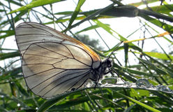 Butterfly  black-veined white Stock Photos