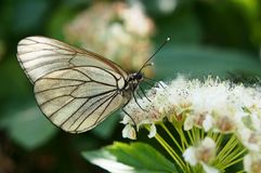 Butterfly. Black-veined white on the flowering bush of hawthorn, canicular sunny day Royalty Free Stock Photos