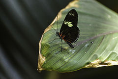 Butterfly. A black butterfly walking on a leaf stock image