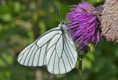 Butterfly (black-weined white) (Aporia crataegi) 7. A close up of the white butterfly (black-weined white) (Aporia crataegi) on flower stock images