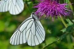 Butterfly (black-weined white) (Aporia crataegi) 6. A close up of the white butterfly (black-weined white) (Aporia crataegi) on flower royalty free stock image