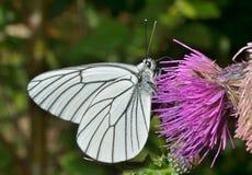 Butterfly (black-weined white) (Aporia crataegi) 2. A close up of the white butterfly (black-weined white) (Aporia crataegi) on flower royalty free stock image