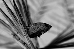 Butterfly in black and white royalty free stock image