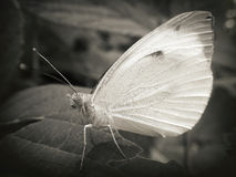 Butterfly in black and white Royalty Free Stock Images