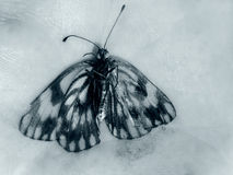Butterfly in black and white Royalty Free Stock Photo