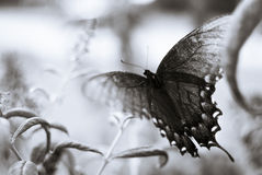 Butterfly. Black and white of a butterfly on a flowering bush Royalty Free Stock Image