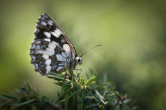 Butterfly. Black and white butterfly in the nature Royalty Free Stock Photography