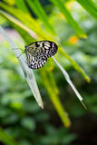 Butterfly black white on palm tree leaf Royalty Free Stock Image