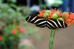 Butterfly. Black And White Striped Butterfly ( Zebra Longwing ) at the Butterfly Exhibit Royalty Free Stock Photos