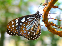 Butterfly black wings blue dots pattern Royalty Free Stock Photography