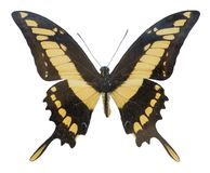 Butterfly black-yellow Papilio Thoas isolated on white backgr Stock Photography