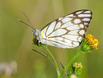 Butterfly and blackjack Stock Image