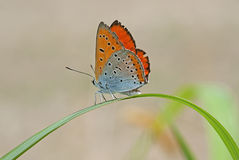 Butterfly on a blade of grass royalty free stock photo